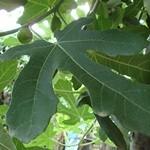 Medicamentos naturales para la diabetes-hojas de higuera