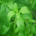 Stevia para la Diabetes ¿Es adecuado y seguro su uso?